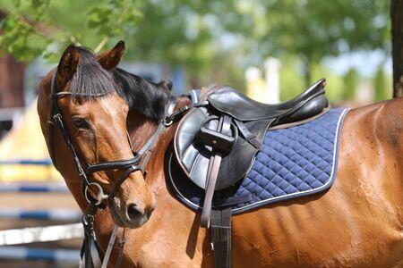 Sportpferd hautnah unter altem Ledersattel auf Dressurwettbewerb. Pferdesport Hintergrund Standard-Bild
