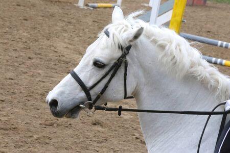 Kopfschuss Porträt Nahaufnahme eines jungen Pferdes auf Springreiten. Seitenansicht Kopfschuss eines schönen Springpferdes auf natürlichem Hintergrund