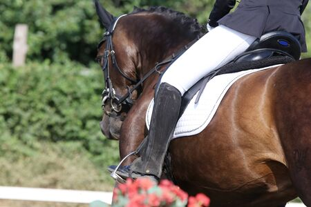 Beautiful dressage horse portrait closeup during competition on natural background summertime on natural background