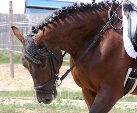 Portrait of a sport horse during dressage competition under saddle. Beautiful dressage horse portrait closeup during competition on natural background summertime on natural background