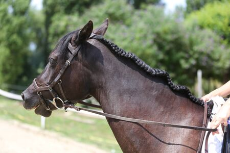 Braided mane for dressage. Braiding provides an aesthetically appealing look for a dressage horse