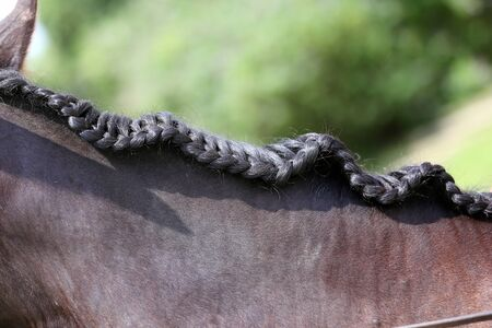 Braided mane for dressage. Braiding provides an aesthetically appealing look for a dressage horse 스톡 콘텐츠