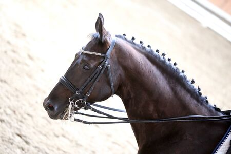 Portrait head shot close up of a beautiful purebred dressage horse during event indoors