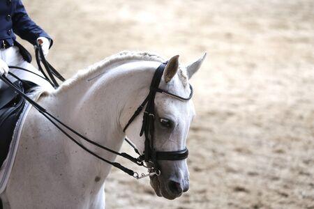 Porträtkopfschuss Nahaufnahme eines schönen reinrassigen Dressurpferdes während der Veranstaltung im Haus