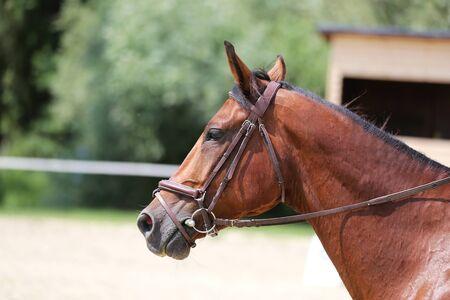 Portrait of a sport horse during dressage competition under saddle. Beautiful dressage horse portrait closeup during competition on natural background summertime