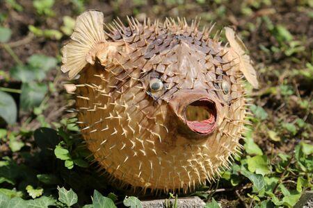 Photo of a prepared blowfish against blurred background