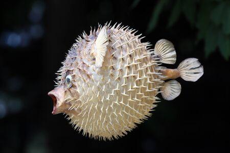 Photo of a prepared blowfish against black background