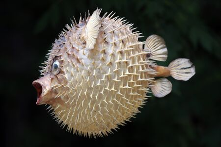Photo of a prepared blowfish against black background