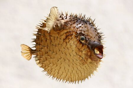Photo of a prepared blowfish against white background