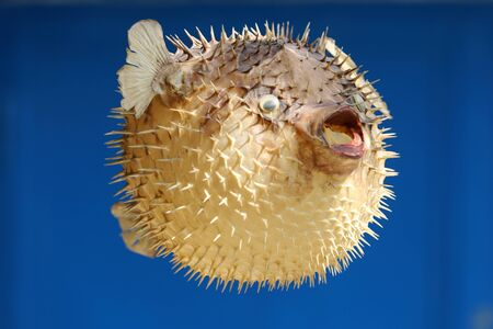 Photo of a prepared blowfish against bllue colored background