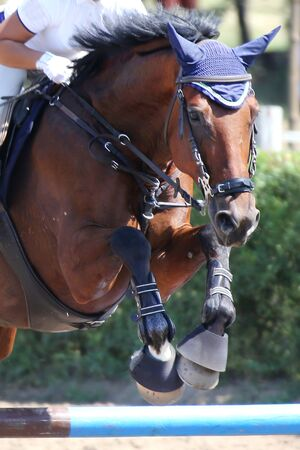 Head of a beautiful young sport horse at racecourse during show jumping training under saddle with unknown rider Stockfoto