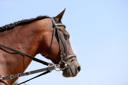 Young saddle horse posing against  blue sky background. Head shot closeup of a purebred young horse. Side view closeup of a young domestic horse outdoors
