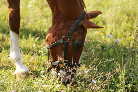 Young saddle horse eating green grass on pasture