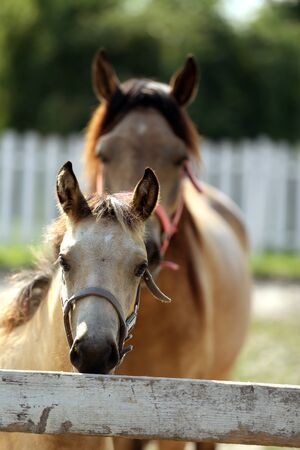 Mare and her foal enjoying summer sunshine at rural animal farm 스톡 콘텐츠