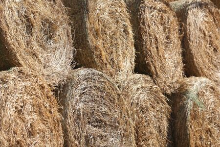 Group of dried mowed haystacks on summer day at rural animal farm. Food for horses and farm animals.