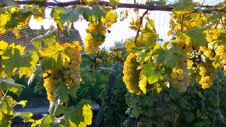 Photo closeup of net protection for wine grapes at autumn harvest time