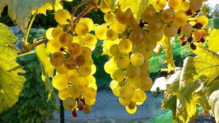 Farmers save wineyard anti starling protection netting