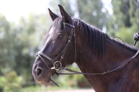 Beautiful young curious saddle horse waiting for riders. Purebred horse standing in the barn yard at rural animal farm. Saddle horse portrait closeup on natural background