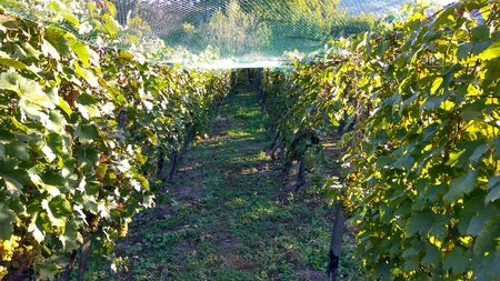 Farmers save wineyard anti starling protection netting. Picture of net protection for wine grapes at autumn harvest time. Farmers protected the grape harvest with a green plastic net 스톡 콘텐츠