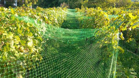 Farmers save wineyard anti starling protection netting. Picture of net protection for wine grapes at autumn harvest time.