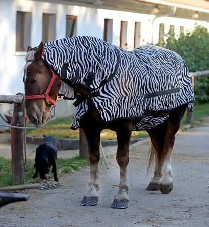 Young funny horse with zebra blanket to protect from sun Zdjęcie Seryjne
