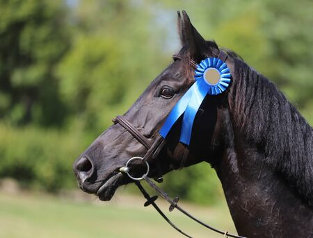 Beautiful purebred show jumper horse canter on the race course after race. Colorful ribbons rosette on head of a beautiful award winner young racehorse on equitation event
