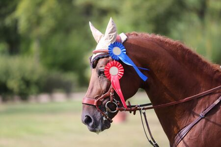 Colorful ribbons rosette on head of a beautiful award winner young racehorse on equitation event. Proud rider wearing badges on the winner horse after competitions