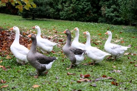 A flock of domestic white geese walk across a rural poultry yard. Home goose geese on poultry farm farmyard autumnal weather