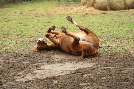 Saddle horse lay on back and having fun to roll in mud in on ranch