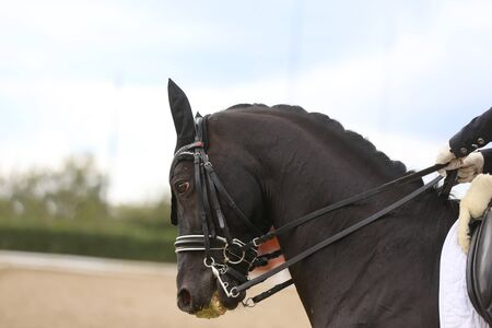 Head shot closeup of a dressage horse during ourdoor competition event Stockfoto
