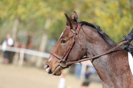 Beautiful expressive horse portrait of a sporting horse. Head shot profile of a show jumper horse  on natural background