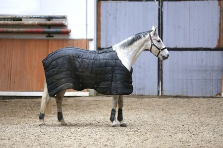 Photo of a young racehorse before training wearing a dirty new horse blanket at animal farm winter time 스톡 콘텐츠