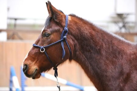 School horse event in indoor riding ground. Head shot close up of a horse during training coaching event   免版税图像