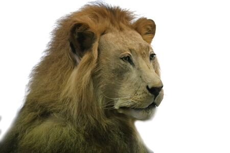 Portrait of an old male lion on the white background. Details face portrait  of lion