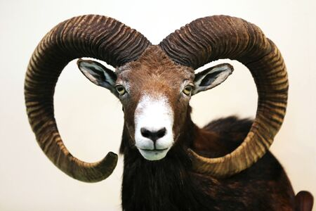 Head shot closeup of an adult male mouflon on the wall as taxidermy. Hunting trophy taxidermy detail objects isolated Zdjęcie Seryjne