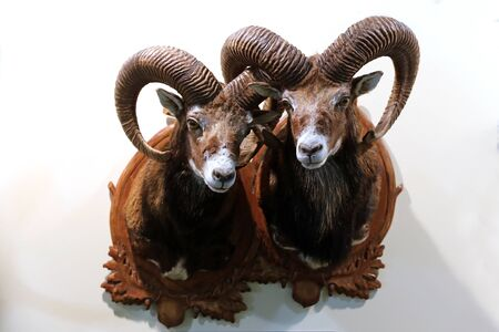 Head shot closeup of two adult male mouflon on the wall as taxidermy. Hunting trophy taxidermy detail objects isolated