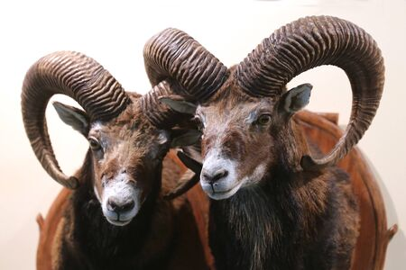 Head shot closeup of two adult male mouflon on the wall as taxidermy. Hunting trophy taxidermy detail objects isolated Zdjęcie Seryjne