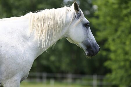 Grey colored purebred andalusian horse with long mane galloping across green pasture Stock Photo