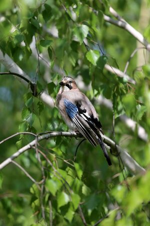 Eurasian jay bird aka garrulus glandarius sitting on branch against green natural background