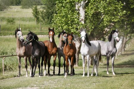 Domestic arabian horses of different colors running home to the stable springtime  Фото со стока