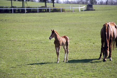 Beautiful thoroughbred mare and her colt are together outdoors springtime 写真素材