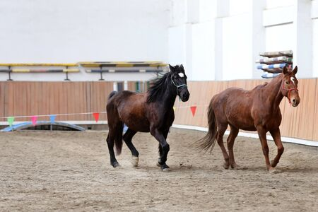Beautiful young purebred horse runs across empty riding hall during training