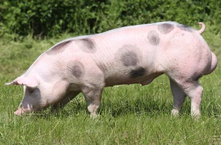 Side view photo of a beautiful young pig outdoors