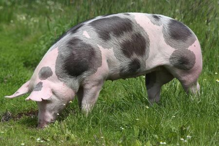 Young spotted domestic pietrain pig with black spots grazing on summer pasture Stockfoto