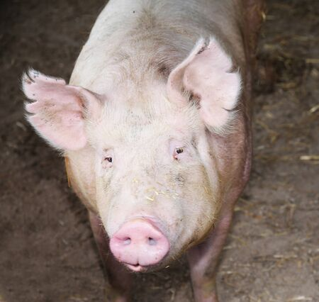 Close-up of a young big domestic pig at animal farm indoors.Horizontal front view head shot close up of mighty pig sow in the barn