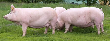 Healthy young pigs growing on the green meadow summertime