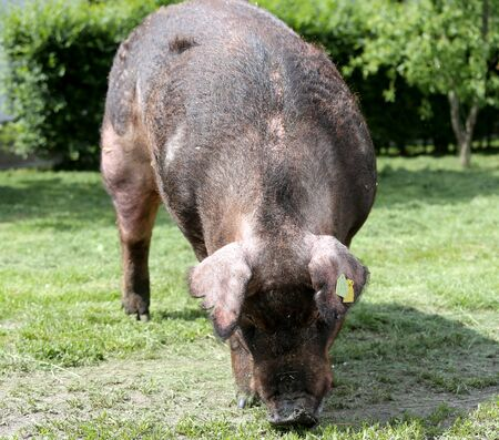 Healthy young duroc growing on the green meadow summertime