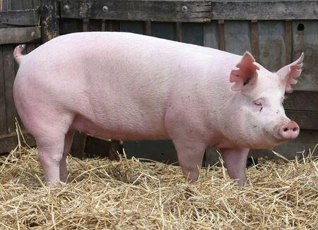 Household domestic pig lives on animal husbandry farm Stock Photo
