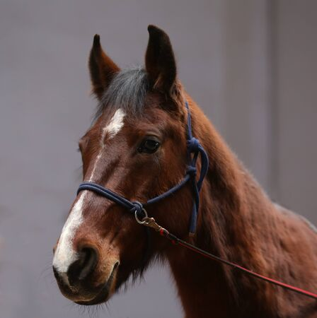 Brown colored young saddle horse waiting for riders. Head shot of a young beautiful mare in riding hall Фото со стока