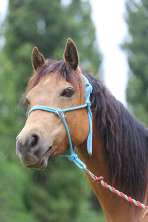 Closeup of young saddle horse on natural background on animal farm summertime outdoors